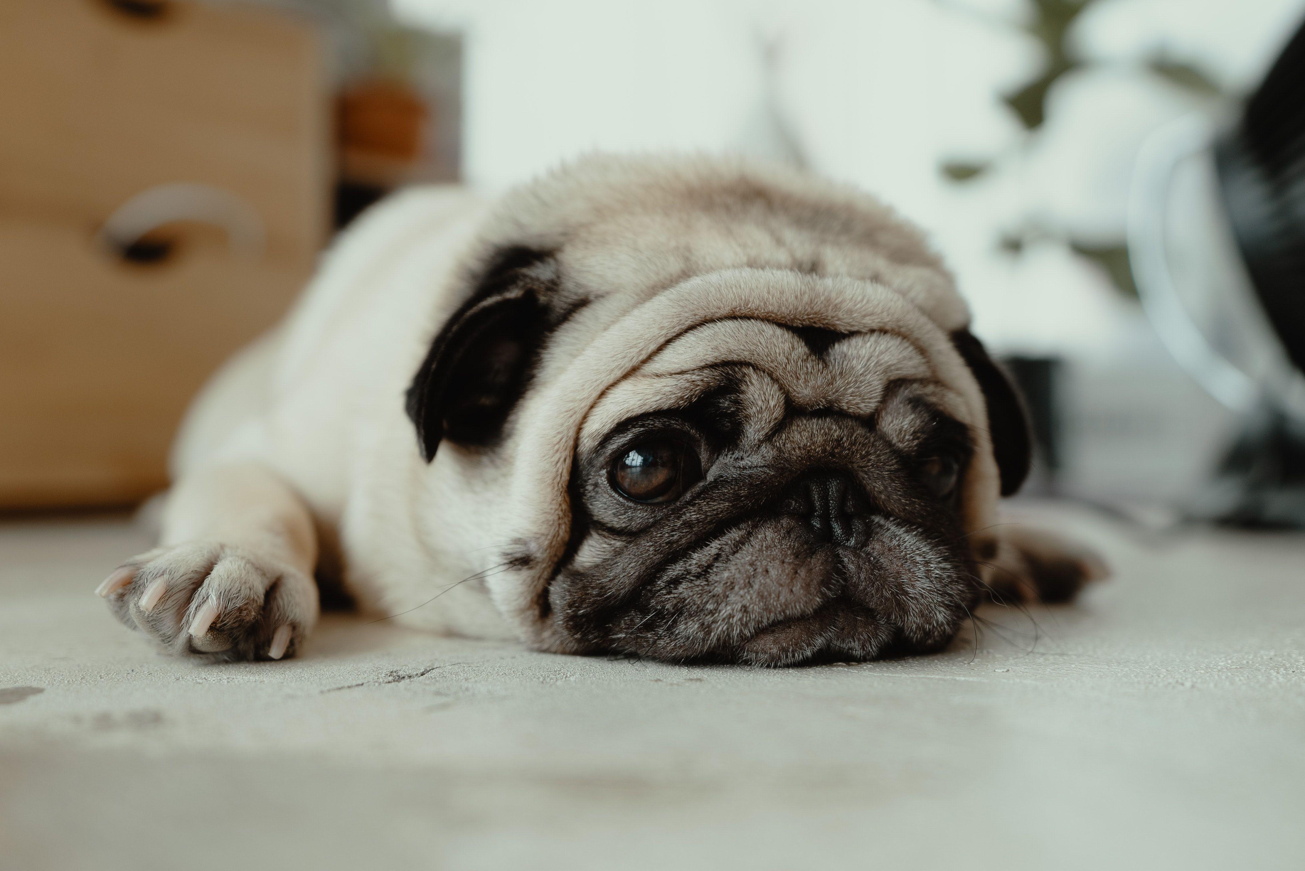 Собака, пес, мопс