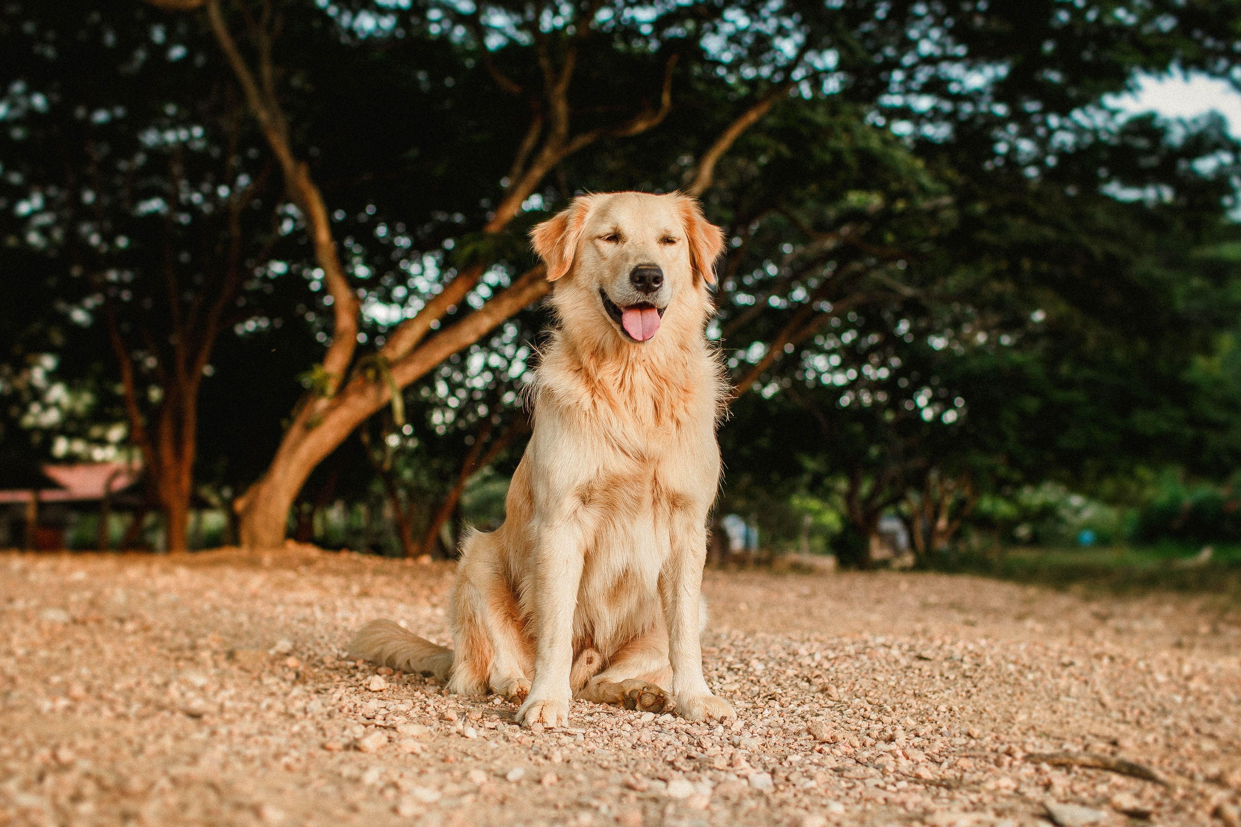 Золотистий ретривер, собака, пес