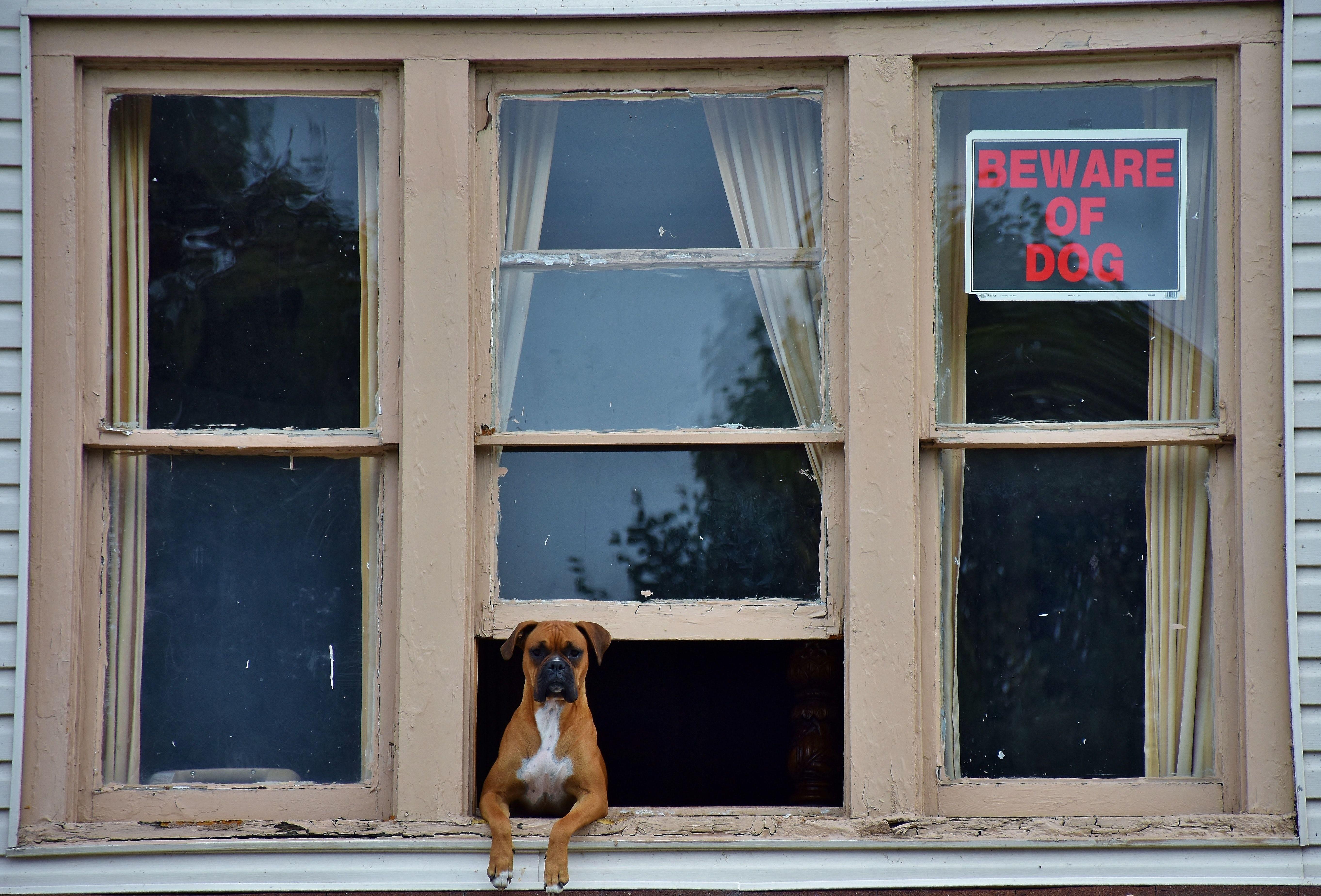 Боксер, собака, пес