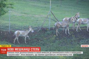 """Близько 30 куланів та ланей з """"Асканії-Нової"""" адаптуються і рятують Тарутинський степ"""