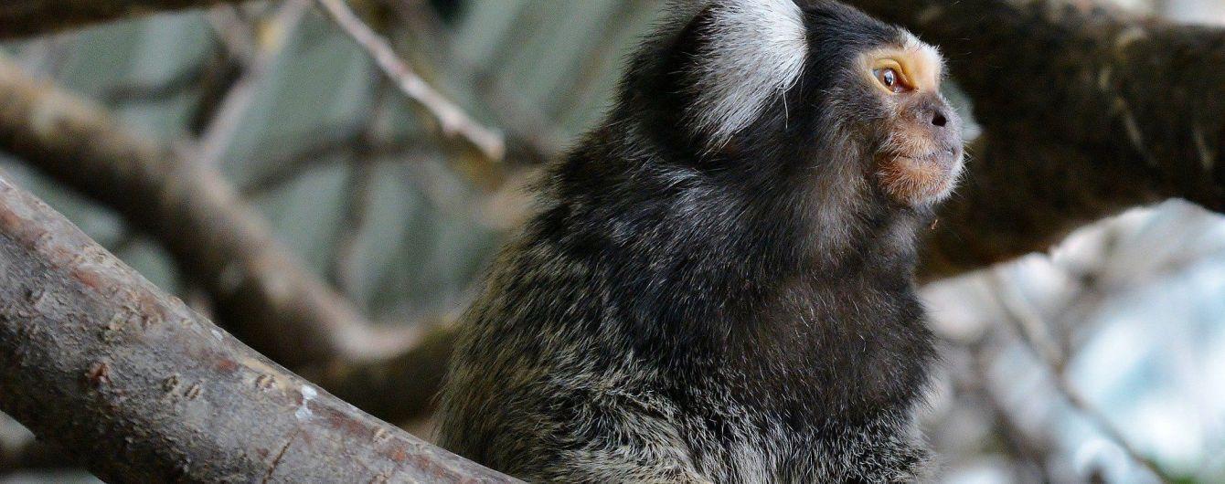 Ученые увеличили мозг обезьяны с помощью уникального человеческого гена
