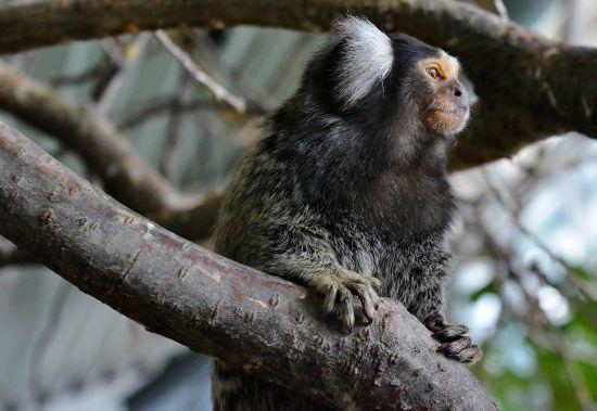 Вчені збільшили мозок мавпи за допомогою унікального людського гена