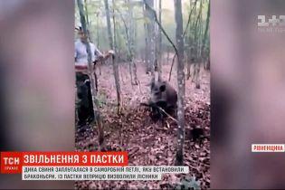 У Рівненській області врятували дику свиню, яка заплуталася в петлі браконьєрів