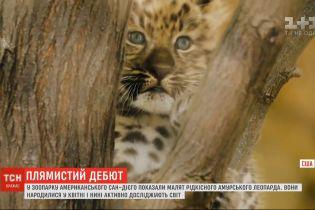У зоопарку Сан-Дієго показали малюків рідкісних амурських леопардів