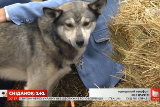 Пес-вовк шукає турботливих господарів