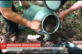 В Винницкой области переселяют муравьев