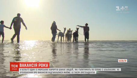 Вакансія року: у Бельгії шукають людей, які гулятимуть по пляжу з альпаками