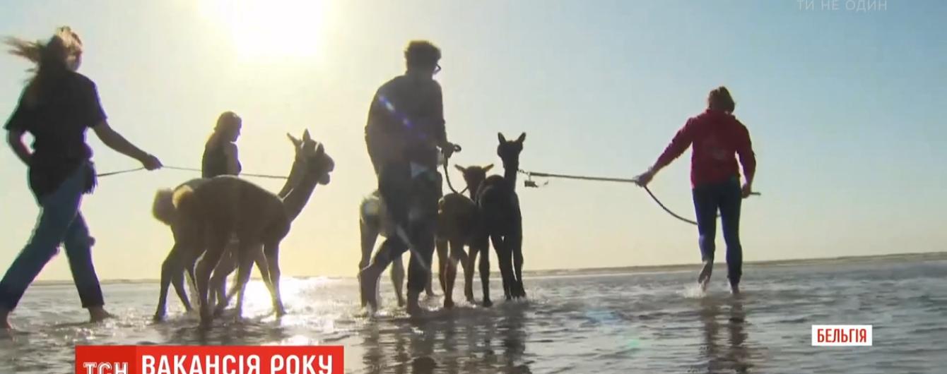 Работа мечты: в Бельгии ищут людей, которые будут гулять с альпаками на пляже