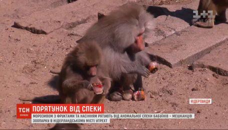 В нидерландском зоопарке бабуинов спасают от жары мороженым и семенами