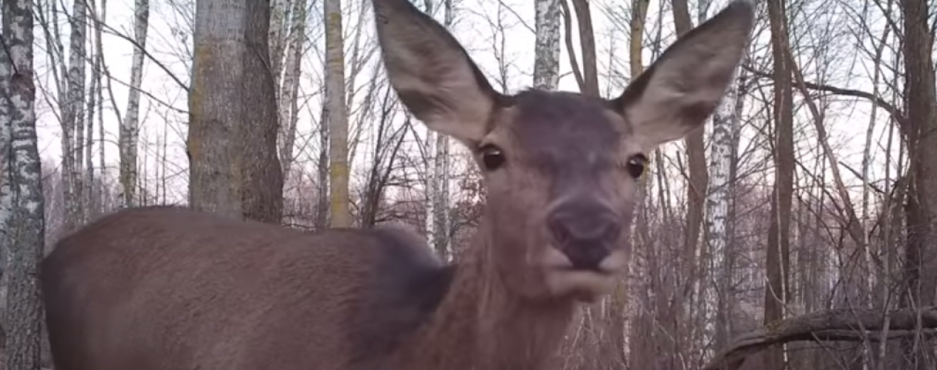 Чорнобильська зона відновлюється: у заповіднику розгулюють стада молодих оленів
