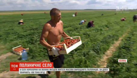 Жители села на Волыни массово выращивают клубнику: в сутки собирают 100 тонн ягод