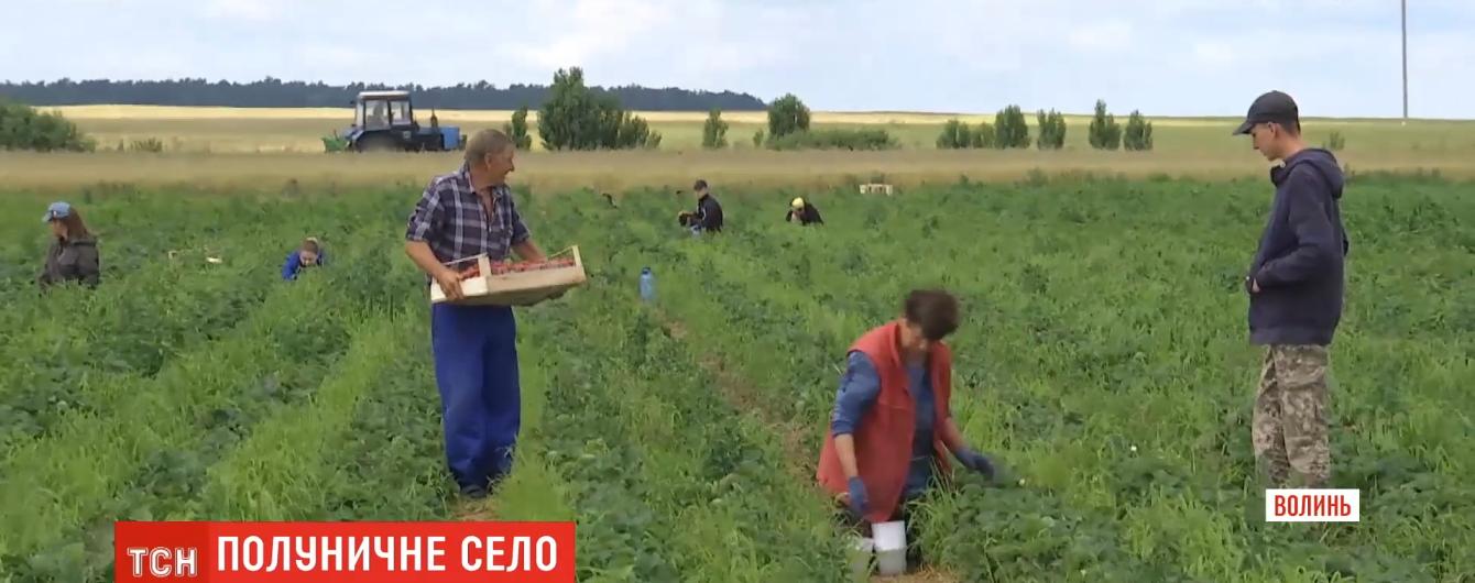 Мешканці волинського села масово вирощують полуницю: засаджено 300 га полів