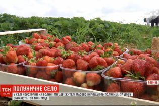 100 тонн ягід за добу: на Волині є село, де масово вирощують полуницю