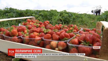 100 тонн ягод в сутки: на Волыни есть село, где массово выращивают клубнику