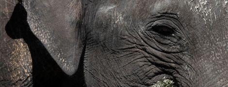 Ходять колами біля води та помирають: у Ботсвані масово гинуть слони
