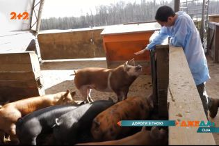 Вчені з Університету Північної Кароліни вигадали, як залатати дороги свинячими відходами