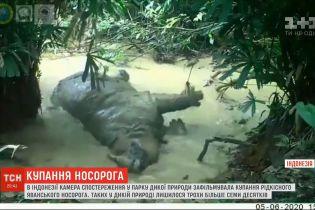 Хит соцсетей из Индонезии: видео купания редкого носорога бьет рекорды просмотров