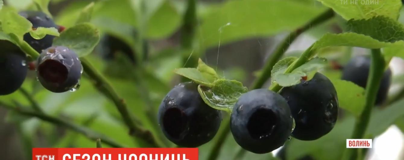 """Сезон """"чорного золота"""": як у Волинській області збирають чорницю та за скільки продають"""