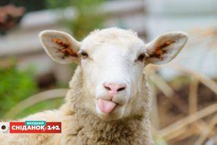 Как клонирование овечки Долли повлияло на развитие медицины
