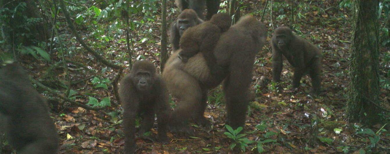 В Нигерии сняли семейство редких горилл, которые почти исчезли из-за охоты