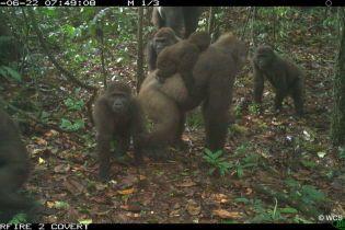 У Нігерії зафільмували сімейство найрідкісніших горил, які майже зникли через полювання