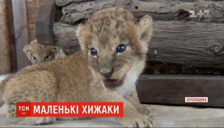 Бебі-бум у сафарі-парку: на Арабатській стрілці одночасно народилися четверо левенят та четверо тигренят