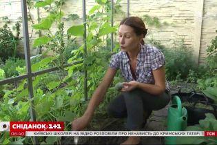 Як правильно збирати та зберігати огірки