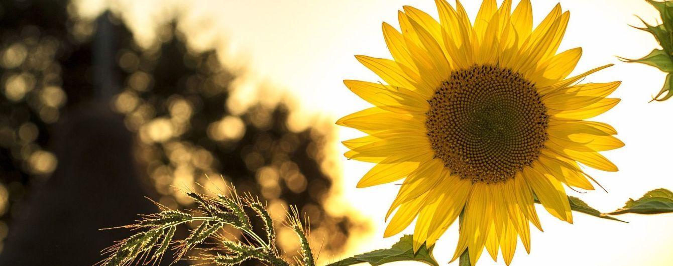 В Україні урожай соняшнику через рідкісну хворобу може опинитися під загрозою
