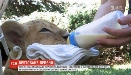 Львенок, которое выгуливали в ночном клубе Одессы, был спасен зоозащитниками