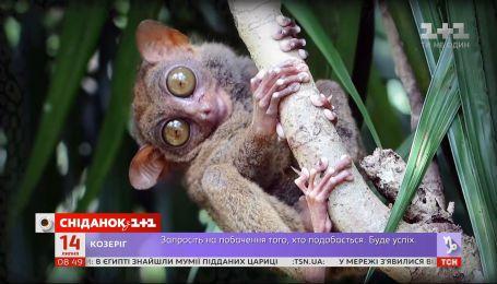 Долгопят призрак: интересные факты о млекопитающес с самыми большими глазами среди животных