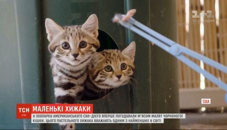 Хищные котята в зоопарке: малышей черноногой кошки впервые покормили мясом