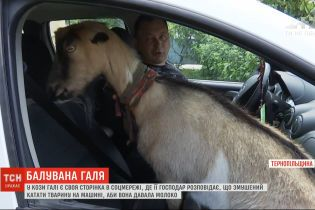 Звезда инстаграма: тернопольская коза Галя катается с хозяином на джипе