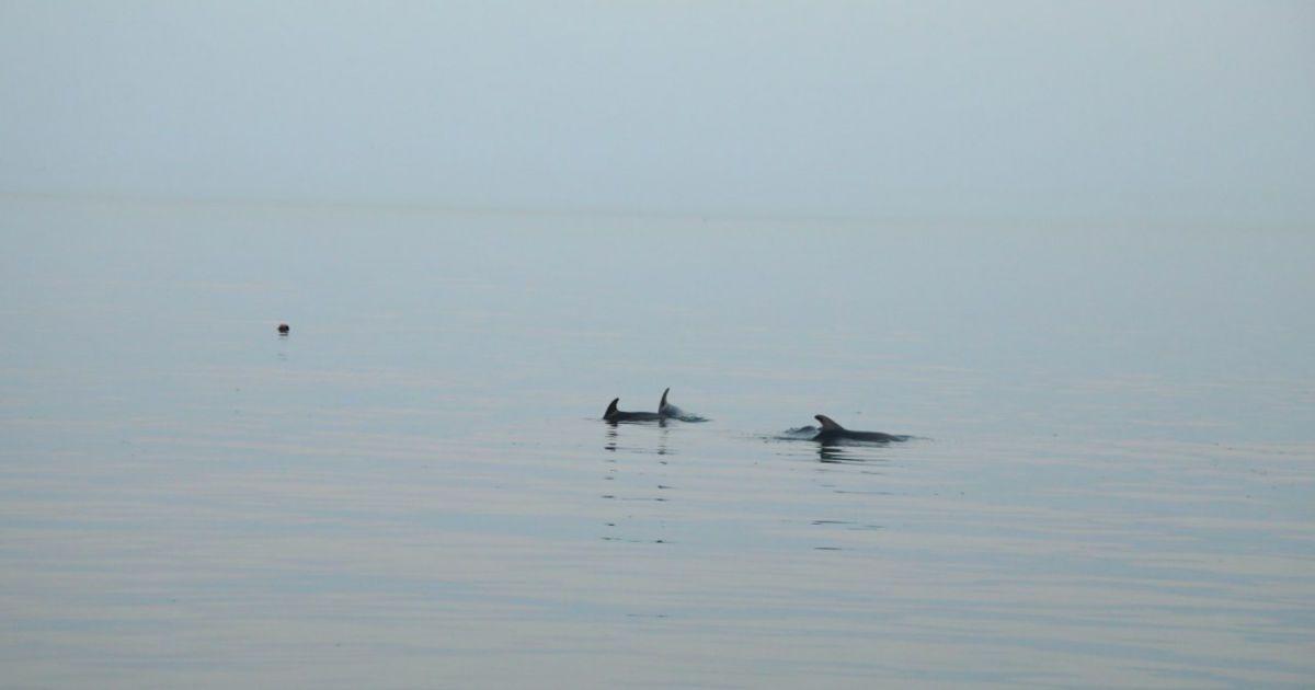 Дельфіни, які застрягли на одеському пляжі, вийшли у відкрите море