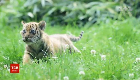 В зоопарке Вроцлава впервые за 20 лет родился Суматранский тигр