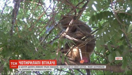 Спецоперация в центре Одессы: ловили трех обезьян, которые сбежали из зоопарка.