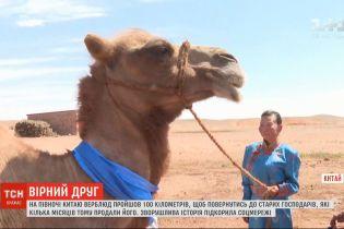 Вірний друг: на півночі Китаю верблюд подолав 100 кілометрів, аби повернутися до старих господарів