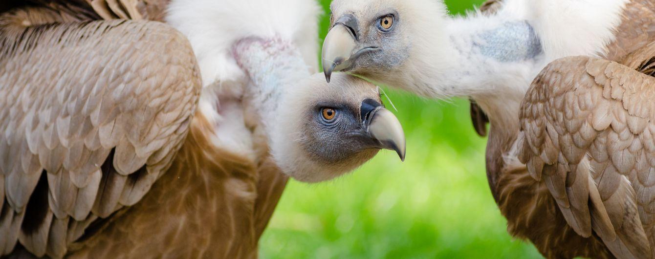 Ученые кормили редкую птицу с беспилотника после смерти мамы