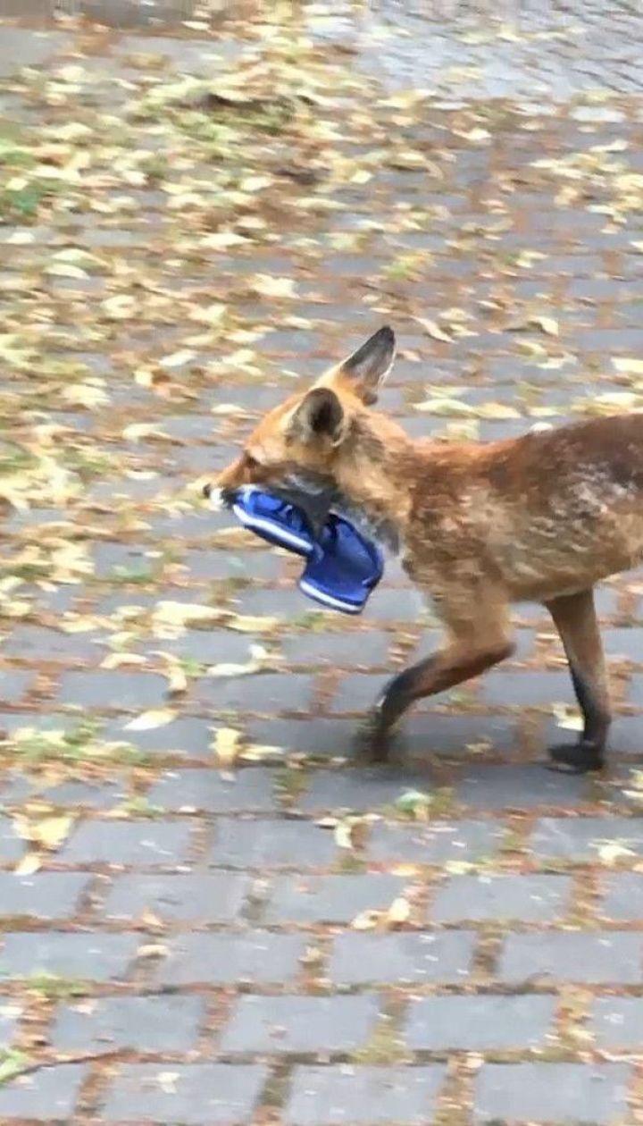 В екологічному районі Берліна місцеві зловили лисицю на крадіжці взуття