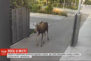 Лось в большом городе: животное с утра носится по улицам столицы