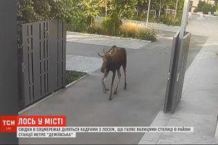 Лось в большом городе: вторые сутки животное разгуливает по улицам столицы