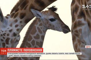 Довгоногий новонароджений: в одеському біопарку народилося жирафеня