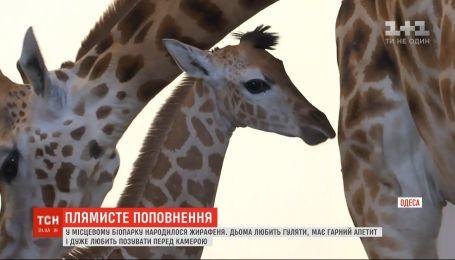 Длинноногий новорожденный: в одесском биопарке родился жирафенок