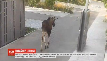 ТСН попыталась отыскать лося, который вторые сутки разгуливает возле метро в столице