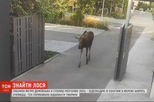 Загадка киевского лося: почему рогатого потянуло в столицу к людям и где он