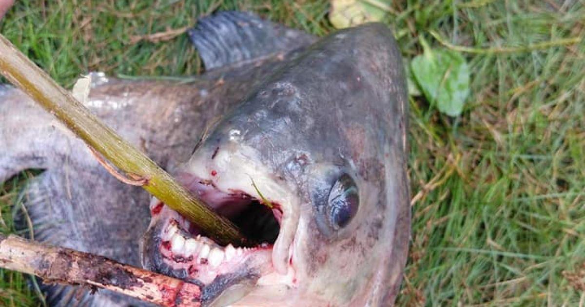 """У Києві на Позняках рибалка зловив незвичайну рибу з """"людськими"""" зубами: з'явилися фото"""