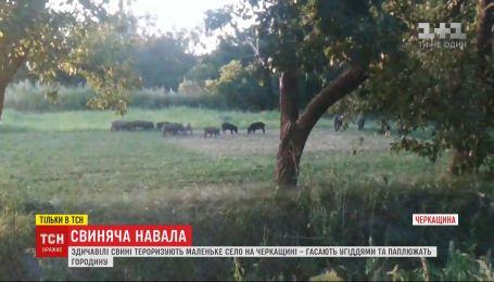 Здичавілі свині тероризують маленьке село в Черкаській області