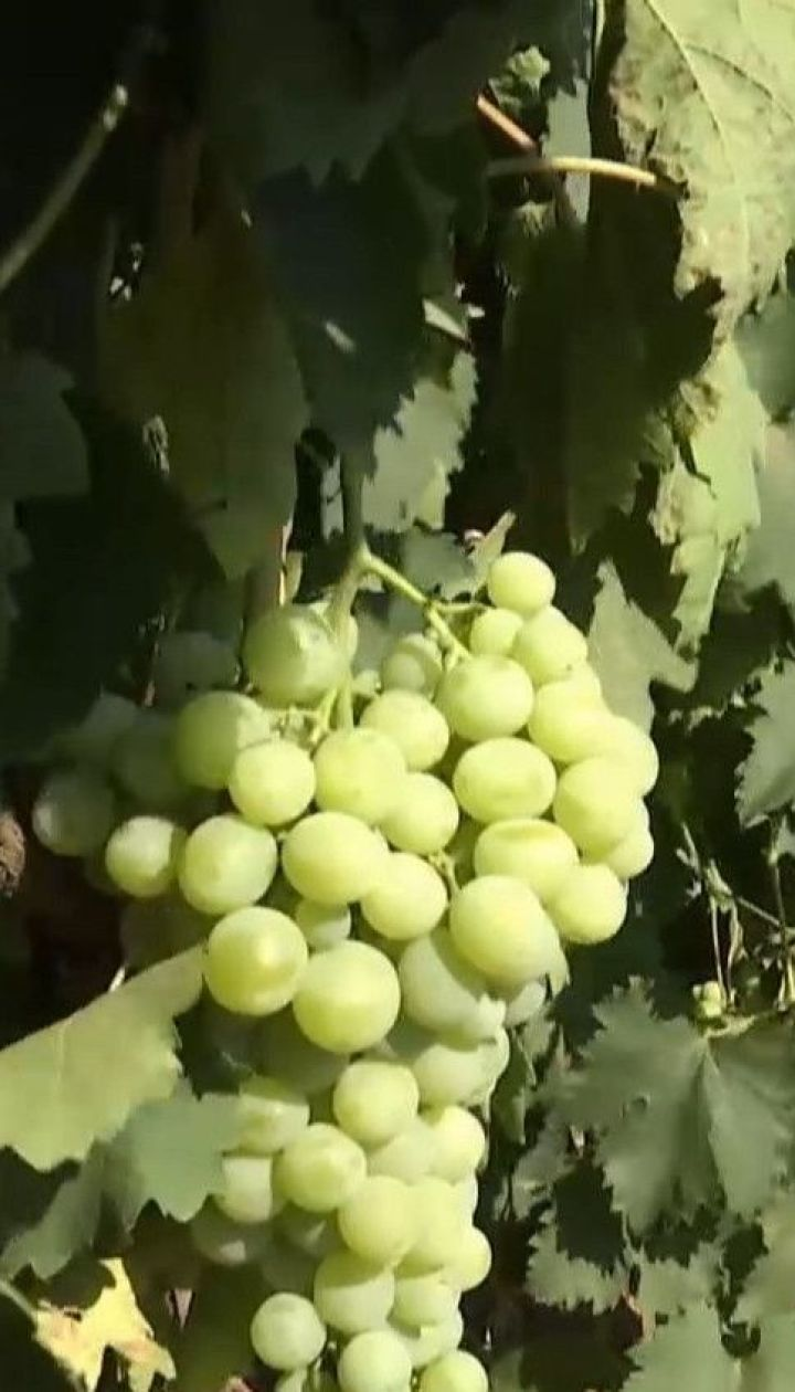 Розвідка ТСН: скільки коштує виноград та як зробити його корисним