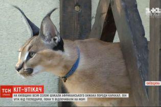У Київській області всім селом шукали хижака породи каракал, який втік від господарів