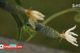 Как продлить сезон огурцов и улучшить их урожайность – Сніданок на дачі