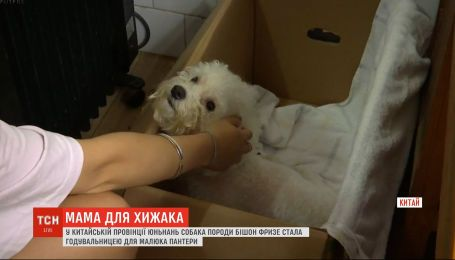 Матуся для хижака: у китайській провінції собака вигодовує малюка пантери